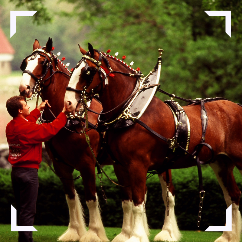 Photo of Budweiser Clydesdales
